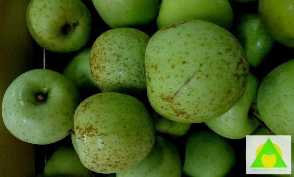 Rdjasta prevlaka na jabuci