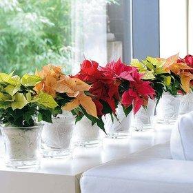 decora-la-navidad-con-flores-de-pascua_tres-elementos
