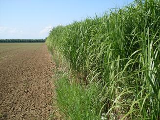 В Житомире выращивают энергетическое растение мискантус