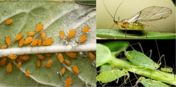 tipos de plagas en el huerto:  los pulgones