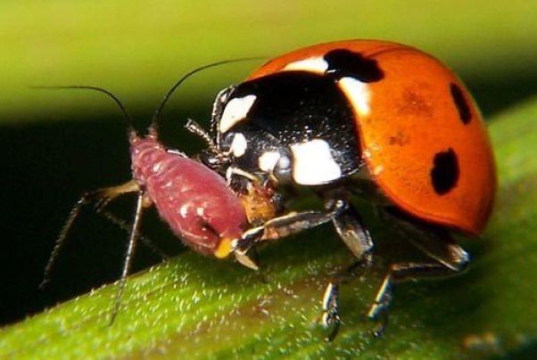 enemigos naturales para la lucha biológica: mariquita comiendo pulgón