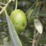 Control de plagas en Olivar Ecológico: Mosca del olivo, Prays del olivo…