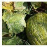 Fungicidas Caseros. 10 Remedios ecológicos para hongos en las plantas