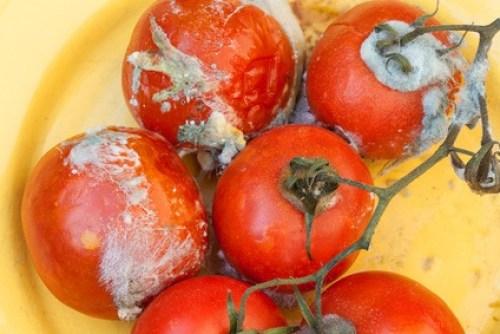 Hongos en los tomates