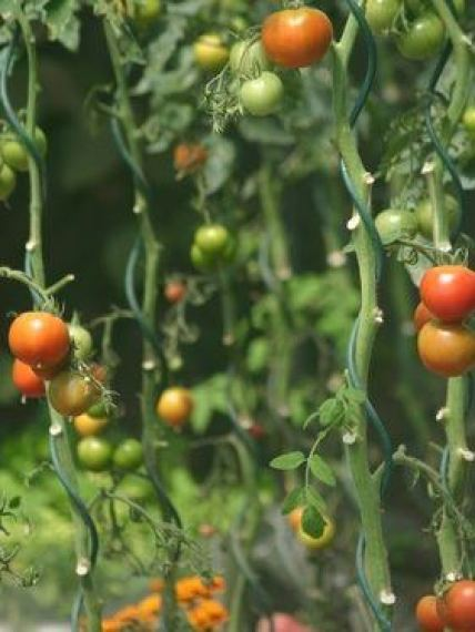 cómo cultivar tomates paso a paso