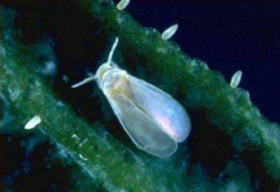 que es la mosca blanca en las plantas