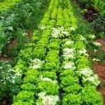 Cultivar Lechugas en el huerto ecológico. Cómo plantar lechugas con éxito