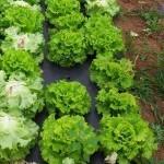 Lechugas: hojas mordidas, bichos en la lechuga y otros problemas