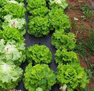 plantar Lechugas sobre cubierta de plástico