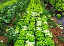 Cultivar Lechugas en el huerto ecológico: Plantar lechugas con éxito