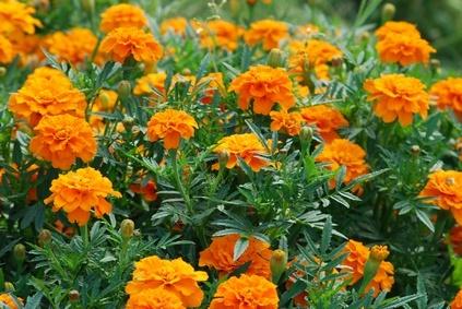 Los tagetes, flores útiles en el huerto ecológico