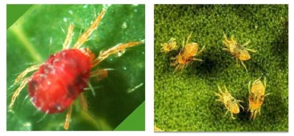 cómo es la plaga de araña roja o arañuela roja