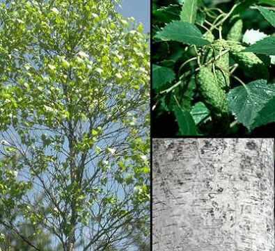 plantas silvestres que se pueden comer