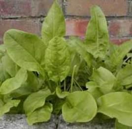 plantas silvestres que se pueden comer: acedera