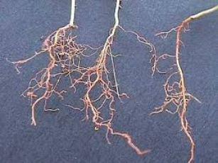 glosario de términos botánicos: raíz axonomorfa