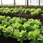 Cómo cultivar Lechuga en el Huerto: Tipos y variedades de lechugas