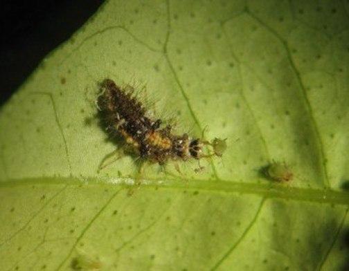 Larva de Chrysopa depredando áfidos