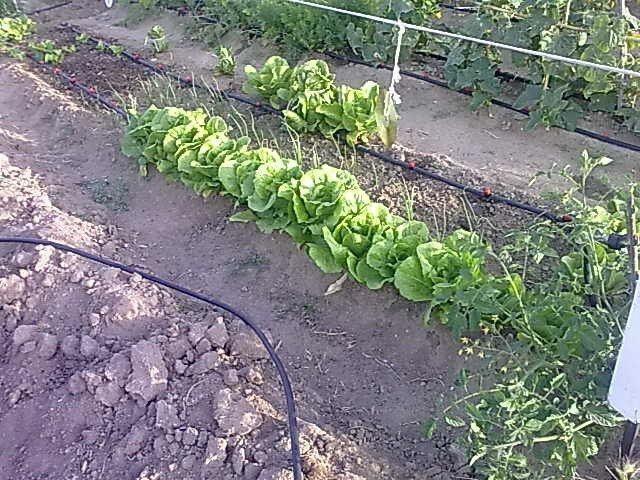 Cultivo de lechugas en los huertos Tuco Tuco (Fuente: www.tucotuco.es)