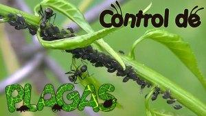 Consejos para Eliminar Plagas en el Huerto: Pulgones, Hormigas y más