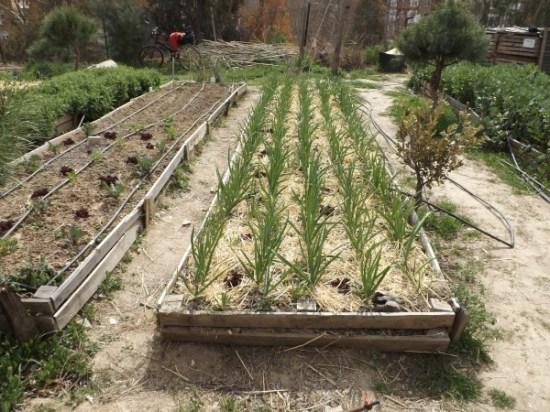 plantar ajos en bancales