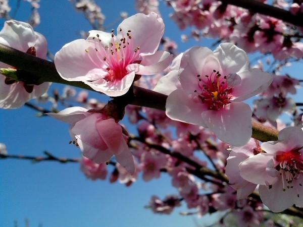 Floración de frutales en primavera