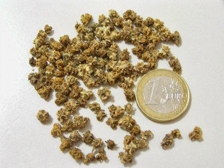 Cultivar acelgas en el huerto: las semillas
