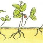 Cómo cultivar Fresas y Fresones: necesidades, cuidados, plagas…