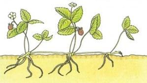 Cómo cultivar Fresas y Fresones: siembra, cuidados, cosecha y más