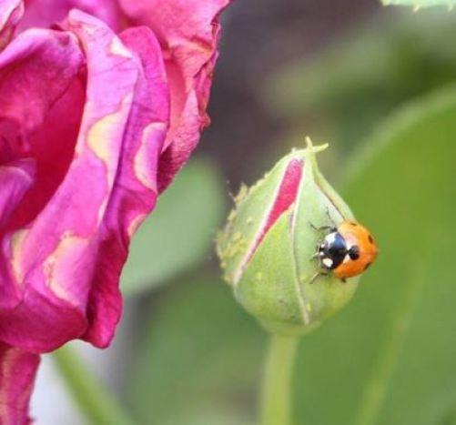 Mariquita a punto de comerse a un pulgón. Uno de los insectos de control biológico.