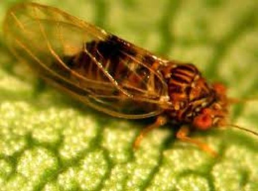 Psila adulta, como véis son muy distintas pero es más fácil de reconocer el estado juvenil porque no se parece a otros insectos.