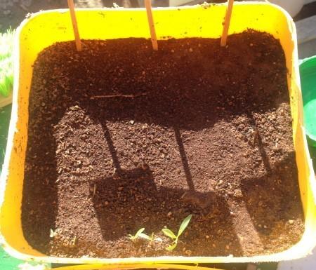 Mi primer semillero no funcionó y tuve que comprar los plantones.