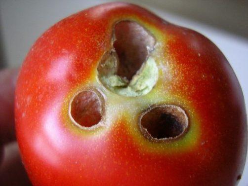 Agujeros en los tomates hechos por Helicoverpa