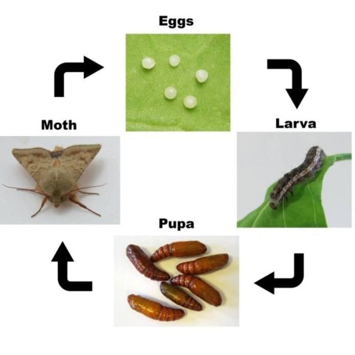 Ciclo biológico de Helicoverpa (Fuente: www.intechopen.com)