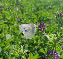 Qué es la Mariposa de la Col: Cómo eliminarla de forma sencilla
