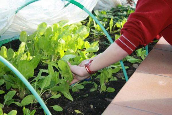 Cultivo en el huerto del Colegio Obispo Perelló de Ciudad Lineal