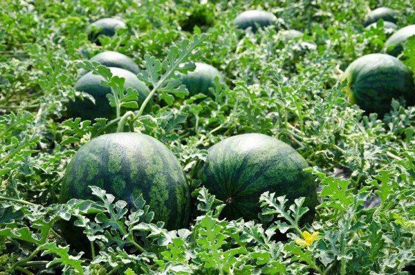 Cultivo de sandía (Fuente: Sandíassinpepitas.es)