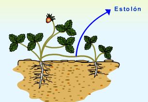 Las plantas de fresa se multiplican por estolones