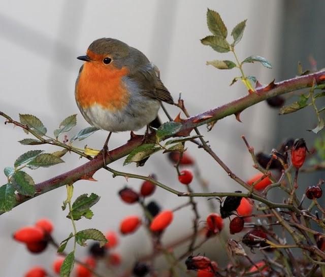 Como veis, al petirrojo le encantan los frutos rojos (Fuente: www.infoanimales.com)
