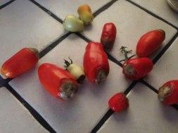 Tomates podridos: Culos podridos en Tomate. Trucos para solucionarlo