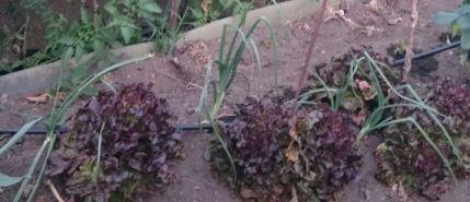 Asociaciones de cultivos buenas: cebollas y lechuga