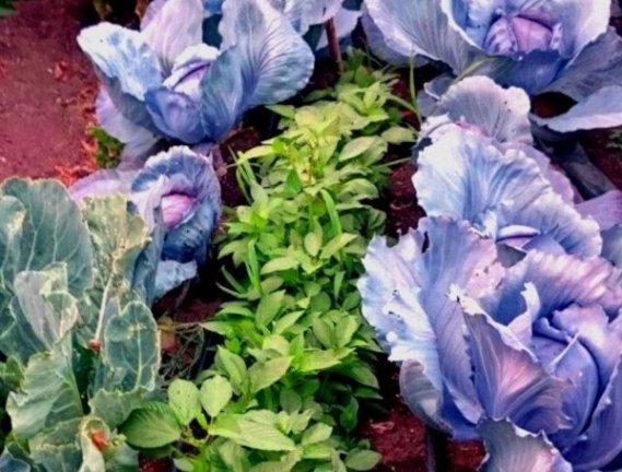 Plantas útiles como parte de la lucha integrada contra plagas