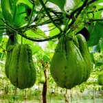Cómo cultivar Chayote en el huerto: Siembra, cosecha y otros