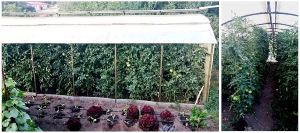 Tomates ecológicos en el huerto