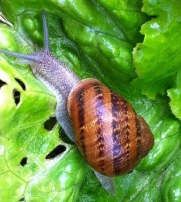 Las plagas de las lechugas: caracoles