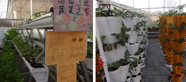 Un huerto escolar en China: Cultivos verticales