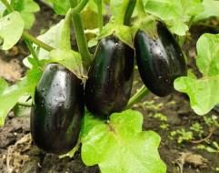 Cómo Cultivar Berenjenas en el Huerto Paso a Paso: Guía Completa