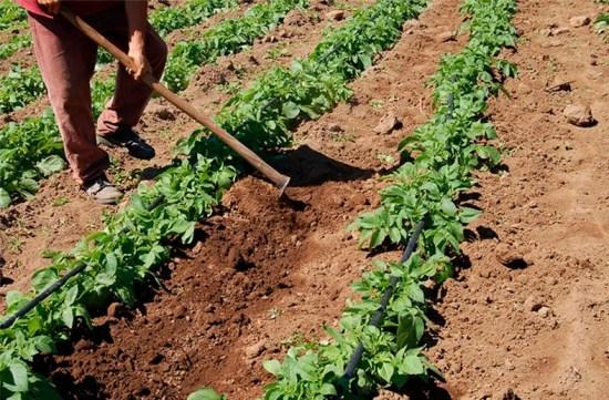 aporcado en el cultivo de pimiento
