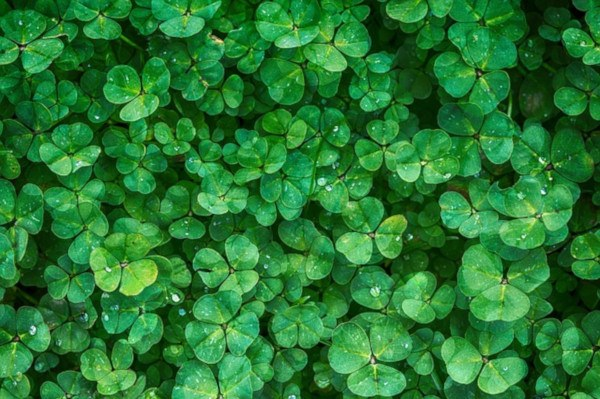 Abonos verdes. Trebol