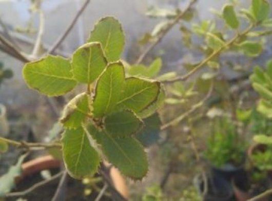 Bordes de las hojas de las encinas enfermos.