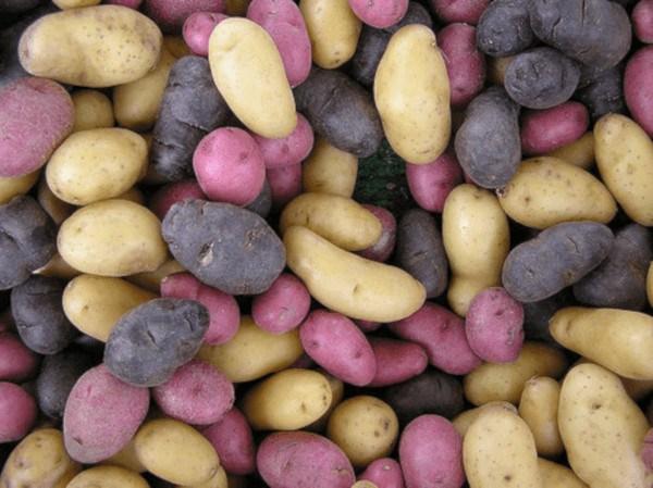 Variedades de patata de diferentes colores